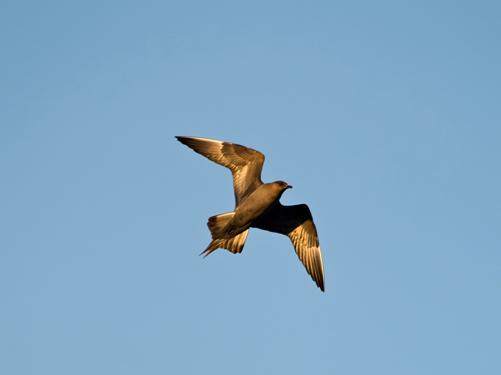 Photo of Arctic Skua / Parasitic Jaeger bird