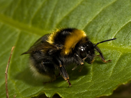 Picture of a bumblebee