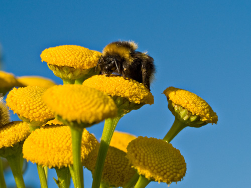 Pictures of a bumblebee on a tansy flower