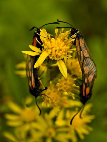 Macro photo of five-spot burnet moths mating on flowers