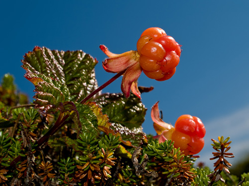 Photo of cloudberry