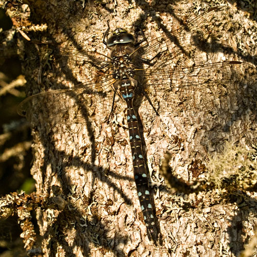 Photo of Common Hawker dragonfly