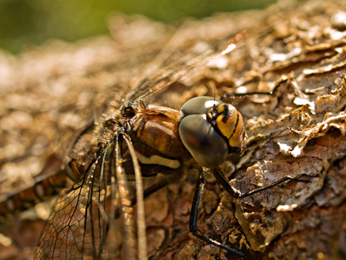 Macro photo of Common Hawker dragonfly