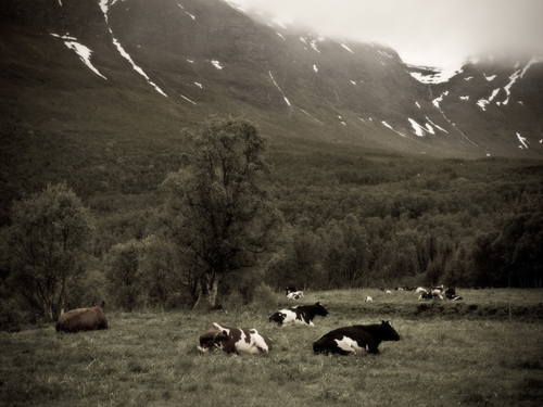 Photo of cows under snowy mountains - antique style