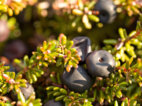 Macro photo of crowberry and some evergreen shrubs