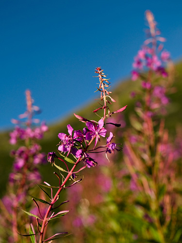 Picture of fireweed flowers