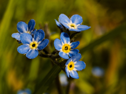 Macro photo of forget-me-not flowers