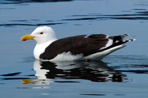 Photo of great black backed seagull