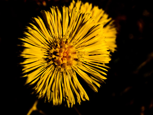 Macro photo of coltsfoot flower Tussilago farfara