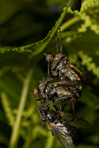 Macro photo of dance fly couple mating and eating a fly