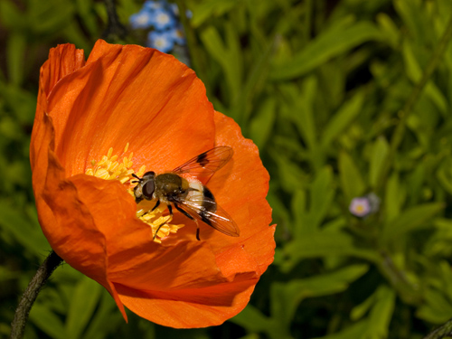 Macro photo of hoverfly on a poppy flower