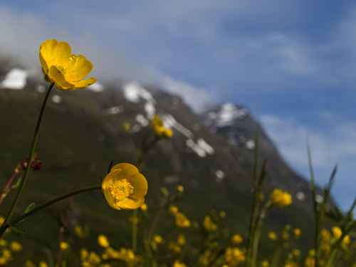 Taking pictures while laying in a buttercup meadow