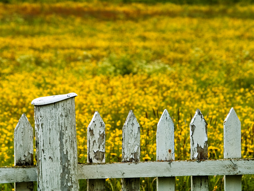 Photo of old fence keeping out hordes of yellow flowers