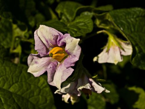 Macro photo of potato flower