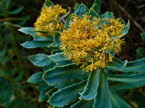 Photo of roseroot (Rhodiola rosea) - natures own viagra