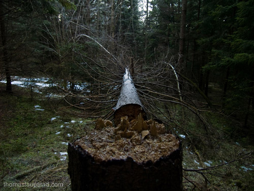 Photo of broken Norwegian Spruce tree in a dark winter forest