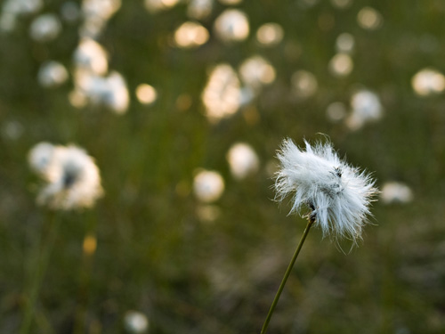 Picture from a cottongrass (Eriophorum) marsh in northern Norway