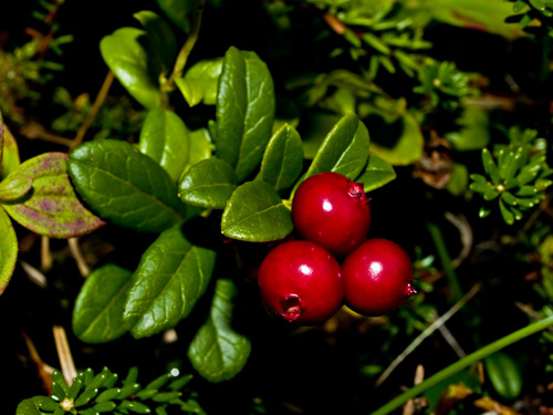 Photo of cowberry