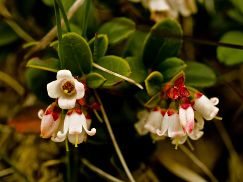 Photo of cowberry flowers