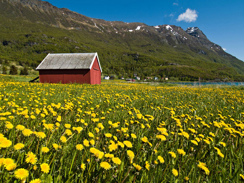 Picture of field full of dandelion flowers and a red boatshed in Northern Norway