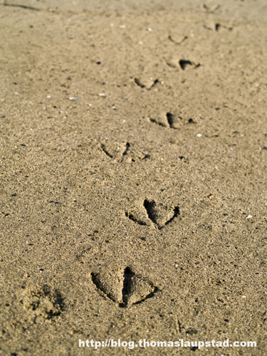 Picture of tracks made by a duck taking a stroll on the beach