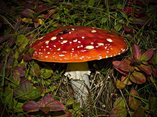 Picture of fly agaric (Amanita muscaria) fungus
