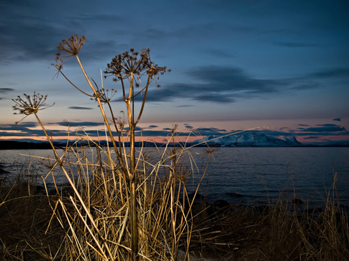 Photo of Garden Angelica plant on a winter day in Northern Norway