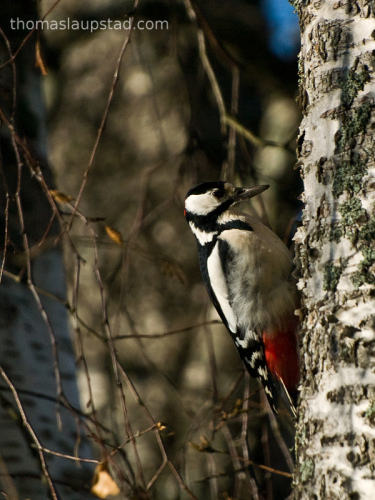 Picture of Great Spotted Woodpecker (Dendrocopos major) bird on birch tree log