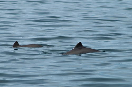 Picture of two Harbour Porpoise (Phocoena phocoena) swimming in a fjord in Northern Norway