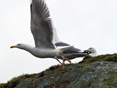 Picture of herring gull (Larus argentatus) taking flight