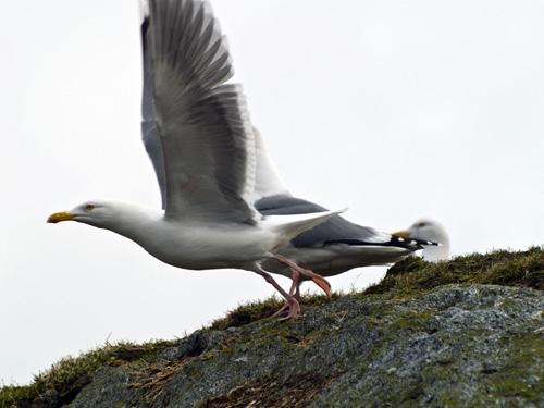Picture of herring gull (Larus argentatus) taking flight