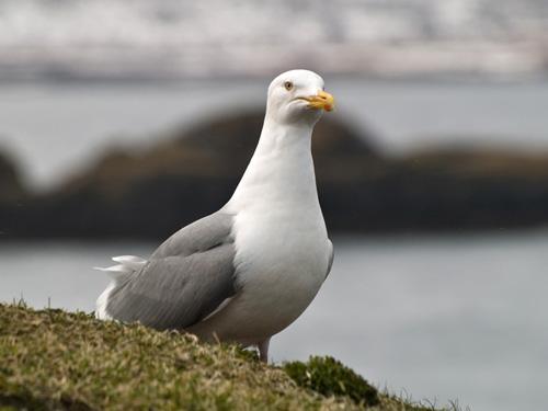 Picture of herring gull (Larus argentatus)