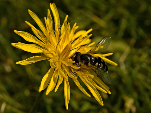 Close up photo of hoverfly feeding on an autumn hawkbit flower