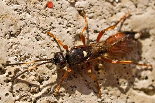 Macro photo of Ichneumon wasp