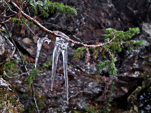 Picture of icicles hanging from a common juniper branch