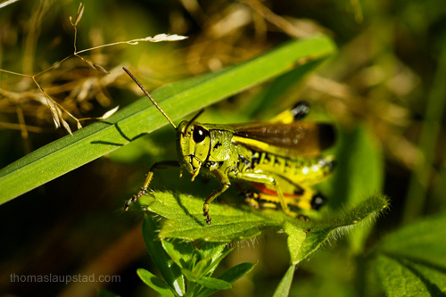 Macro picture of Large marsh grasshopper (Stethophyma grossum) the largest Acrididae in Norway