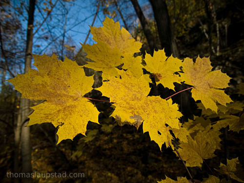 Picture of Norway maple leaves (Acer platanoides) with fall / autumn colors