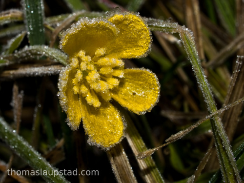 Macro picture of Meadow buttercup flower (Ranunculus acris) covered with rime frost