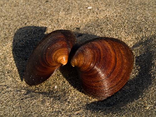 Close up picture of Ocean Quahog (Arctica islandica) shells on a sandy beach