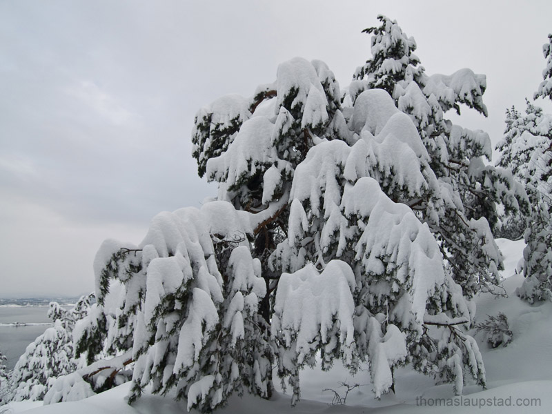 Picture Of Pine Tree Totally Covered In Snow Heavy Snowfalls In Southern Norway