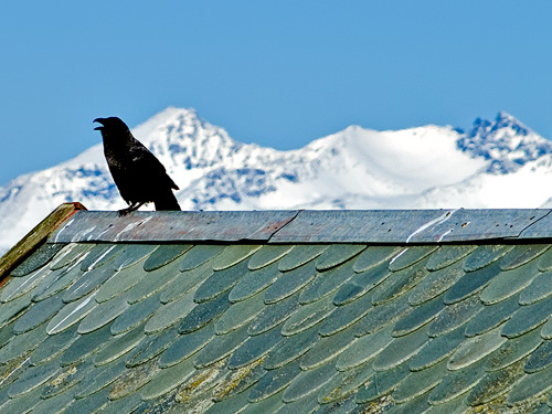 Photo of raven sitting on an old tiled stone roof