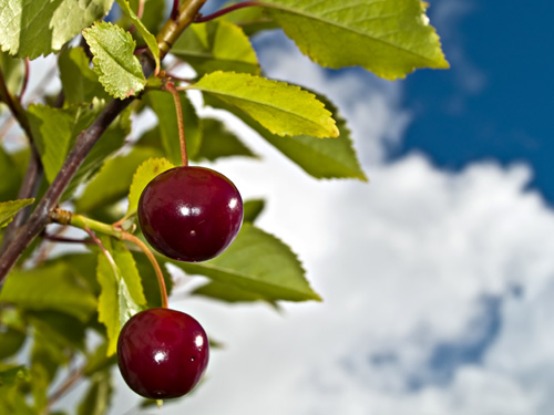 Close up photo of ripe cherries