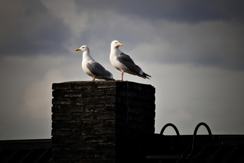 Picture of seagull pair sitting on roof pipe in Northern Norway