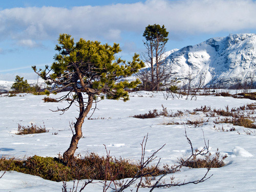Picture of small scots pine tree in a winter landscape in Northern Norway
