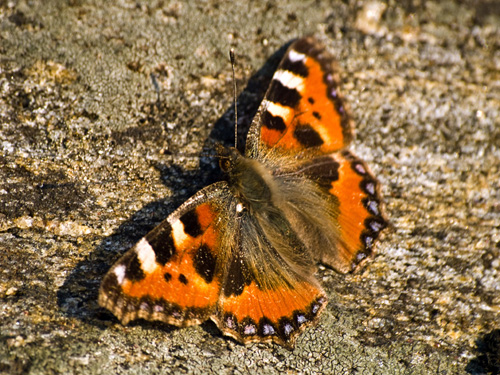 Macro picture of Small Tortoiseshell butterfly (Nymphalis urticae)
