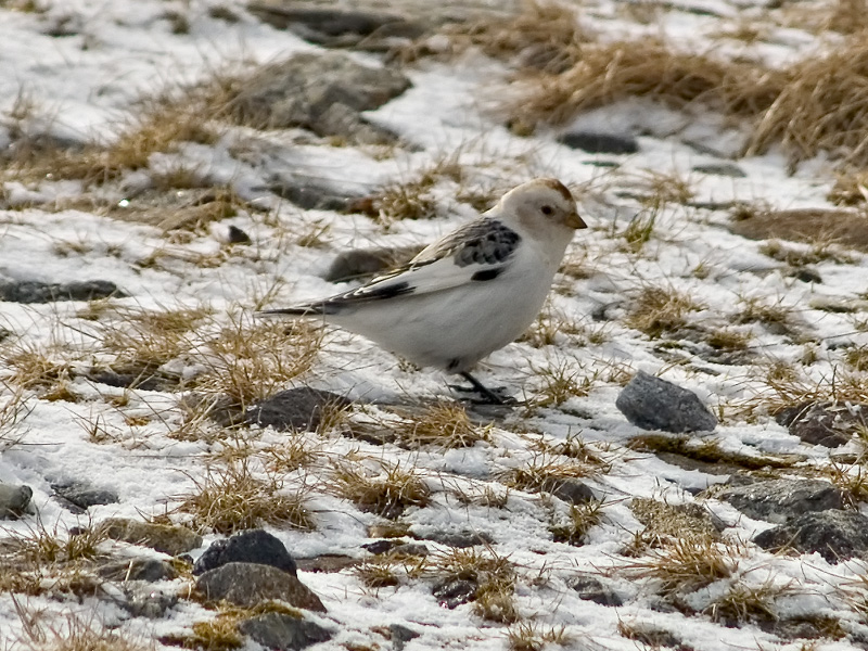 Picture of Snow Bunting (Plectrophenax nivalis) bird