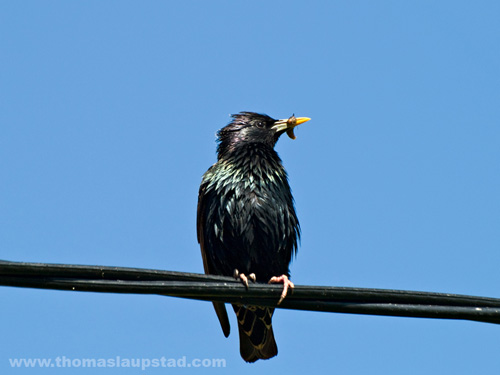 Picture of young European starling (Sturnus vulgaris) with bug in beak