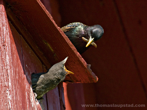 Picture of young European starling (Sturnus vulgaris) on birdhouse