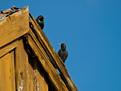 Picture of European Starling (Sturnus vulgaris) couple on boatshed roof