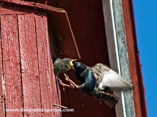 Picture of European starlings (Sturnus vulgaris) feeding their young